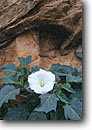 Stock photo. Caption: Datura (Jimsonweed),   Carcass Wash Escalante River Canyon Grand Staircase-Escalante National Monument,  Colorado Plateau,  Utah -- united states america flower flowers wildflower wildflowers portrait closeup closeups species native plant plants ancient poisonous psychedelic purity Datura wrightii properties psychotropic bloom blossom monuments