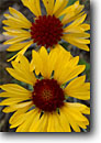 Stock photo. Caption: Blanketflower in Uinta Basin Red Cloud Loop Road Ashley National Forest Colorado Plateau,  Utah -- flower flowers wildflower wildflowers detail details summer united states america southwest southwestern  excellence poetic faces peace peaceful scarlet yellow rays sunflower sunflowers cheery happy bloom native plants plant sweet Gaillardia aristata