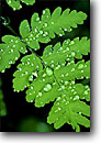 Stock photo. Caption: Raindrops on fern leaf Baker River Trail North Cascades National Park North Cascade Range, Washington -- united states america detail details artistic nature ferns closeups close ups pattern patterns cascades parks green drop drops northwest northwestern pacific state cascades