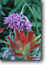 Stock photo. Caption: Nodding onion and scarlet paintbrush Blue Mountain near Deer Park Olympic National Park Olympic Peninsula,  Washington -- united states wildflower wildflowers flowers pacific northwest detail native plants plant america details closeup closeups olympics Allium cernuum Castilleja miniata summer wild onions edible paintbrushes