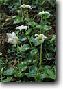 Stock photo. Caption: Woodnymph, Spruce Trail Hoh River Rainforest Olympic National Park Olympic Peninsula,  Washington -- united states wildflower wildflowers flowers pacific northwest detail native plants plant america details closeup closeups olympics woodland forest Pyrola uniflora summer floor
