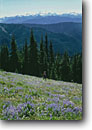 Stock photo. Caption: Broadleaf lupine, American bistort   and Mt. Olympus, Hurricane Ridge near Eagle Point, Olympic National Park Olympic Mountains, Washington -- wildflower wildflowers flowers pacific northwest native plants plant  olympics spring people person woman women hiking hiker hikers hike trail trails meadow meadows lupines mountains dramatic Lupinus latifolius landscape landscapes scenics scenic walking