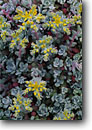 Stock photo. Caption: Broad-leaf stonecrop Deception Pass State Park Whidbey Island Island County,  Washington -- flowers flower wildflower wildflowers detail details closeup closeups macro spring united states america woodland detail parks islands san juan succulent succulents Sedum spathulifolium