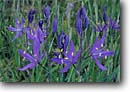 Stock photo. Caption: Common camas Turtleback Mountain,  Deer Harbor Road Orcas Island,  San Juan Islands San Juan County,  Washington -- flowers flower wildflower wildflowers detail details closeup closeups macro spring united states america detail Camassia quamash maxima wild native plants plant blooming forest floor woods  islands