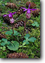 Stock photo. Caption: Fairy slipper Lime Kiln Point St. Pk. San Juan Island Washington -- flowers wildflower wildflowers detail details closeup closeups macro spring united states america state park parks islands county douglas cones slippers orchid orchids calypso bulbosa pacific northwest northwestern wild native plants plant forest floor