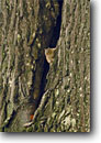 Stock photo. Caption: Eastern chipmunk Council Grounds State Park Merrill Lincoln County,  Wisconsin -- autumn fall midwest upper midwestern destination tourist travel forests rivers habitat united states chipmunks animal animals wildlife small tree trees rodent rodents cute critters