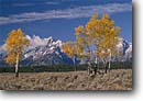 Stock photo. Caption: Aspens and The Grand Teton Snake River Valley Grand Teton Naional Park Rocky Mountains,  Wyoming -- united states america parks  fall autumn trees forest mountain peaks peak mountains vacation travel tourist destination destinations landscape landscapes blue skies sunny clear crisp