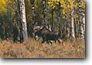 Stock photo. Caption: Moose Oxbow Bend Grand Teton National Park Rocky Mountains,  Wyoming -- united states america summer vacation mammals mammal large animal animals rockies fall autumn habitat parks