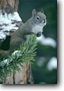 Stock photo. Caption: American red squirrel (Tamiasciurus hudsonicus) Yellowstone National Park Rocky Mountains, Wyoming -- animal animals squirels squirel squirrels squirells parks rodent cute critters critter rockies native habitat winter snow snowy snowey