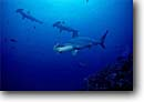 Stock photo. Caption: Scalloped hammerhead, Cocos Island Cocos Island National Marine Park Eastern Pacific Ocean Puntarenas Province, Costa Rica -- dive shark hammerheads underwater scuba diving crowded schools schooling fish fishes ocean national parks scary sphyma lewini world heritage site sites danger fear animal animals sealife saltwater photography