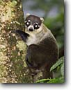 Stock photo. Caption: White-nosed Coati (Nasua narica)   in tree Arenal Volcano National Park Costa Rica, Central America -- animal animals cute critters critter native habitat trees tree parks patience relaxed relax scenic scenics landscape landscapes coatis parks coatimundi