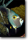 Stock photo. Caption: French angelfish (Pomacanthus paru) Little Cayman Island Cayman Islands Caribbean Sea -- angelfishes Caymen fish fishes underwater scuba diving tropical ocean saltwater reef reefs coral underwater  angelfishes detail details closeup closeups sealife photography