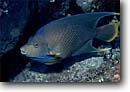 Stock photo. Caption: Blue angelfish (Holacanthus bemudensis) Little Cayman Island Cayman Islands Caribbean Sea -- angelfishes Caymen fish fishes underwater scuba diving tropical ocean saltwater reef reefs coral underwater angelfishes detail details closeup closeups sealife photography