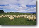 Stock photo. Caption: Drusdale herd of sheep North Island New Zealand -- ranching ranch sheeps wooly pasture wooley lambs lamb livestock international travel