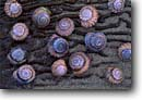 Stock photo. Caption: Snail shells and kelp Moeraki Boulders Preserve South Island New Zealand -- shell colorful design designs artistic nature background backgrounds spiral curve rows patterns pattern repeating artistic nature detail details beach closeup closeups seashell seashells