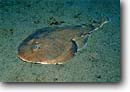 Stock photo. Caption: Cortez electric ray (Narcine entemedor) Midriff Island,  Sea of Cortez Baja California Mexico -- fish fishes underwater scuba diving tropical ocean saltwater sandy bottom bottoms underwater exotic camouflage predator predation predators devious hiding surprise sealife marine saltwater photography rays