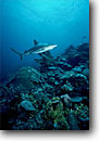 Stock photo. Caption: Caribbean reef shark New Providence Island Bahamas -- carcharhinus perezi sharks fish fishes underwater scuba diving oceans scene scenic danger fear travel tourist destination destinations daring trust brave animal animals wildlife saltwater sealife marine life photography predator predators reefs