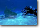 Stock photo. Caption: Diver  with Tiger Shark Bahamas Atlantic Ocean -- Galeocerdo cuvier sharks fish fishes underwater scuba diving oceans scene scenic danger fear travel tourist destination destinations daring trust brave animal animals wildlife saltwater sealife marine life photography predator predators reefs photographer