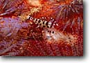 Stock photo. Caption: Irian Jaya New Guinea Indo Pacific -- Keywords: Shrimp shrimps detail details closeup closeups south crustacean crustaceans  claw claws underwater camouflage camouflaged saltwater
