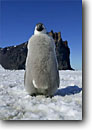 Stock photo. Caption: Emperor penguin chick Cape Washington,  Ross Sea Southern Ocean Antarctica -- Keywords:  severe extreme weather climate global warming international research south pole continent southern coastal penguins penguin habitat glacial chicks  bird birds snow aquatic flightless seabird seabirds babies baby