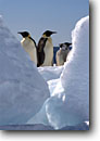 Stock photo. Caption: Emperor penguins marching Cape Washington,  Ross Sea Southern Ocean Antarctica -- Keywords: iceberg icebergs severe extreme weather climate global warming international research south pole continent southern hemisphere coastal penguins penguin habitat glacial chick family artistic nature  bird birds snow aquatic flightless seabird seabirds