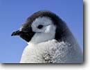 Stock photo. Caption: Emperor penguin chick Cape Washington,  Ross Sea Southern Ocean Antarctica -- Keywords: severe extreme weather climate global warming international research south pole continent southern coastal penguins penguin habitat glacial chick family eyes closeup closeups portrait portraits  bird birds snow  aquatic flightless seabird seabirds babies