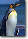 Stock photo. Caption: King penguins and royal penguins Macquarie Island Australia Southern Ocean,  Subantarctic -- Keywords: global warming international research south pole continent southern hemisphere coastal penguins penguin habitat glacial shoreline shore coastal world heritage site sites  bird birds snow  aquatic flightless seabird seabirds
