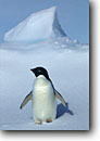Stock photo. Caption: Adelie penguin Coulman Island Ross Sea,  Southern Ocean Antarctica -- Keywords: iceberg icebergs snow severe extreme weather climate global warming international research south pole continent southern hemisphere coastal penguins penguin habitat glacial  bird birds snow  aquatic flightless seabird seabirds