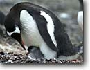 Stock photo. Caption: Gentoo penguins, adult and chick Hannah Point,  Livingson Island Shetland Islands, Antarctic Peninsula Southern Ocean, Antarctica -- iceberg icebergs severe extreme weather climate global warming international south pole continent southern glacial penguin seabird seabirds habitat birds bird adults chicks motherhood mother protection protect antarctic animal animals aquatic babies baby