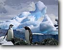Stock photo. Caption: Chinstrap and Gentoo penguins Gerlache Straits Shetland Islands, Antarctic Peninsula Southern Ocean, Antarctica -- iceberg icebergs severe extreme weather climate global warming international research south pole continent southern glacial penguin penguins habitat birds animal animals bird glacier glaciers snow antarctic aquatic flightless seabird seabirds
