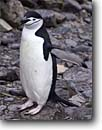 Stock photo. Caption: Chinstrap penguin on Hannah Point Livingson Island Shetland Islands, Antarctic peninsula Southern Ocean, Antarctica -- iceberg icebergs severe extreme weather climate global warming international research south pole continent southern glacial penguin penguins habitat birds bird  antarctic animal animals aquatic flightless seabird seabirds