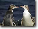 Stock photo. Caption: Yellow-eyed penguins Enderby Island Auckland Islands New Zealand -- Keywords:  severe extreme weather climate global warming international research  southern hemisphere coastal penguins penguin habitat shoreline shore coastal pair family  bird birds snow  aquatic flightless seabird seabirds