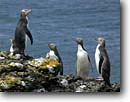 Stock photo. Caption: Yellow-eyed penguins Enderby Island Auckland Islands New Zealand --  global warming international research southern hemisphere coastal penguins penguin habitat glacial shoreline shore coastal  bird birds aquatic flightless seabird seabirds
