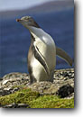 Stock photo. Caption: Yellow-eyed penguins Enderby Island Auckland Islands New Zealand --  global warming international research  southern hemisphere coastal penguins penguin habitat  shoreline shore coastal  bird birds aquatic flightless seabird seabirds