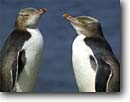 Stock photo. Caption: Yellow-eyed penguins Enderby Island Auckland Islands New Zealand --  global warming international research  southern hemisphere coastal penguins penguin bird birds habitat family ocean shoreline shore coastal aquatic flightless seabird seabirds