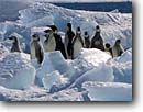 Stock photo. Caption: Emperors marching through ice Cape Washington Ross Sea Southern Ocean, Antarctica -- iceberg icebergs severe extreme weather climate global warming international research south pole continent southern coastal penguin habitat glacier glacial glaciers bird birds snow antarctic penguins aquatic flightless seabird seabirds