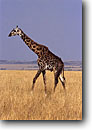 Stock photo. Caption: Giraffe Masai Mara Nature Reserve Kenya Africa -- giraffes lanky reserves safari safaris mammal mammals african savannah grassland grasslands animal animals wildlife habitat large wild single walking grasses graceful grace landscape landscapes blue sky clear sunny
