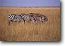 Stock photo. Caption: Zebras Masai Mara Nature Reserve Kenya Africa -- zebra reserves safari safaris mammal mammals african ungulate ungulates stripe stripes striped animal animals wildlife habitat reserves large wild pattern patterns repeating landscape landscapes grasses grazing graze