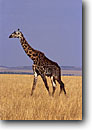 Stock photo. Caption: Giraffe Masai Mara Natural Reserve Kenya Africa -- giraffes lanky reserves safari safaris mammal mammals african animal animals  wildlife habitat large wild single walking grasses graceful grace landscape landscapes blue sky clear sunny