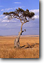 Stock photo. Caption: Vultures Masai Mara Nature Reserve Kenya Africa -- vulture tree trees plain plains african bird birds  wildlife habitat large wild grasses landscape landscapes blue sky clear sunny waiting watchful tree trees carion eaters griffons scavenger scavengers griffon