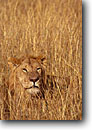Stock photo. Caption: Lion Masai Mara Nature Reserve Kenya Africa -- safari safaris mammal mammals lions cat cats reserves african animal animals large wild grasses lying down camouflage camouflaged hiding blending color same grass tawny private secret concealed conceal wildlife habitat