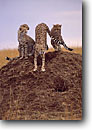 Stock photo. Caption: Cheetahs Masai Mara Nature Reserve Kenya Africa -- safari safaris mammal mammals cheetah  cat cats reserves african spots spotted savannah family families pride prides playful playfullness animal animals interaction wild large wildlife habitat