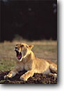 Stock photo. Caption: Lion Masai Mara Nature Reserve Kenya Africa -- safari safaris mammal mammals leopards cat cats reserves african spots spotted yawn yawning tongue sleepy naps animal animals large wild wildlife habitat