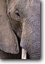 Stock photo. Caption: African elephant Masai Mara Nature Reserve Kenya Africa -- safari safaris mammal mammals elephants tusk tusks portrait eyes wrinkle wrinkles portraits  reserves african animal animals wild large wildlife ears trunk
