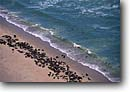 Stock photo. Caption: South African fur seal Aerial view of the Skeleton Coast Namib Desert Namibia,  Africa -- Keywords: dune dunes sand atlantic coasts coastal deserts african aerials  surf beach beaches seals marine mammals mammal animal animals coast waves coastline coasts beach beaches wild habitat landscape landscapes
