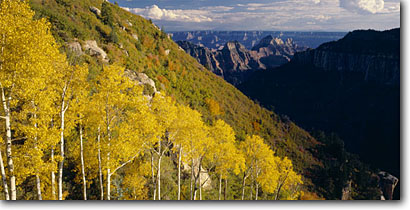 Stock photo. Caption: Aspens and bigtooth maples in Roaring Springs Canyon  and San Francisco Peaks North Rim,  Kaibab Plateau Grand Canyon National Park Colorado Plateau, Arizona -- america landscape landscapes sunny clear scenic scenics scene fall autumn canyons country parks distance view views vista vistas aspen tree trees mountains plateaus maple color foliage world heritage site sites panorama panoramas panoramic panoramics