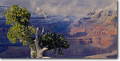 Stock photo. Caption: Pinyon pine and Grand Canyon   from Yaki Point Grand Canyon National Park Colorado Plateau,  Arizona -- canyons parks vista vast spectacular dramatic united states america world heritage site sites landscape landscapes tourist destination destinations attraction attractions travel depth awesome breathtaking erosion time views panoramic panoramics panoramas