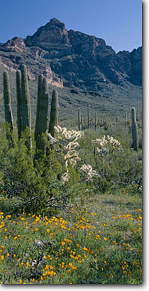 Stock photo. Caption: Mexican goldpoppy,  organ pipe cactus   and chain fruit cholla,  Ajo Range Organ Pipe Cactus National Monument Sonoran Desert,  Arizona -- deserts monuments southwest saguaros valley diablo wildflowers spring flowers bloom blooming verdant carpet Eschscholzia californica mexicana  panoramic panoramics panoramas panorama blue sunny clear skies landscape landscapes scenic scenics