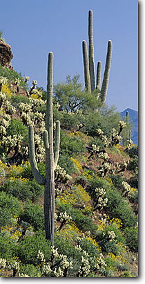 Stock photo. Caption: Saguaro, teddy bear cholla, brittlebush   and Sierra Ancha Tonto National Monument Sonoran Desert, Arizona -- deserts flowers wildflower wildflowers prickly spine spines spring fresh deserts united states america southwest southwestern cactuses  Opuntia bigelovii Encelia farinosa saguaros clear sunny blue skies panoramic panoramics panoramas landscapes landscape
