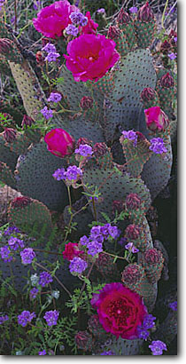 Stock photo. Caption: Beavertail pricklypear and common   phacelia, Henderson Canyon Anza-Borrego Desert State Park San Diego County,  California -- deserts phacelias flowers wildflower wildflowers detail details closeup closeups prickly spring fresh deserts united states southwest southwestern Opuntia basilaris distans thorn thorns thorny artistic nature sweet panoramic panoramic panorama blooming